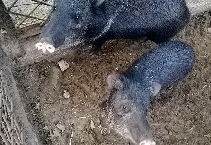 Riga Zoo. Oink Oink.