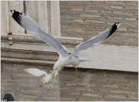 Vatican doves attack, 25.01.14