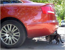 An Audi-Cat