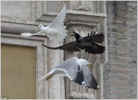 Vatican doves attack, 25.01.14