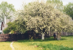 Apple Tree of Jacek Yerka